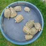 Griechische Landschildkröten NZ 2014 und 2015 zu verkaufen