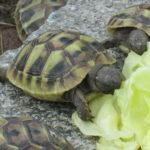 Griechische Landschildkröten THH zu verkaufen