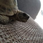 Landschildkröte in Pentling entlaufen
