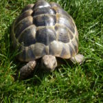3 Maurische Landschildkröten, 5 Jahre alt, 2 männlich 1 weiblich, mit Cites robust und gesund