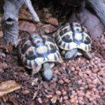 Verkaufe Griechische Landschildkröten Testudo Hermanni