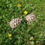 Verkaufe Griechische Landschildkröten Testudo Hermanni aus 2017