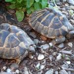 2 weibliche Griechische Landschildkröten Testudo hermanni geb. 2008 zu verkaufen