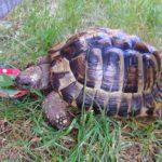 Griechische Landschildkröte entlaufen