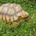 Spornschildkröte vermisst in 04509 Wölkau