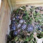 Breitrandschildkröten NZ 2017/2018 zu verkaufen