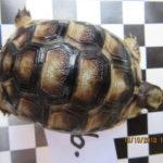 Habe noch sechs Breitrandschildkröten (testudo marginata) zu verkaufen