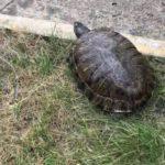 Weibliche Rotwangenschmuckschildkröte vermisst !