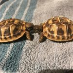 Griechische Land Schildkröte NZ 2018