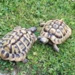 Griechische Landschildkröten (THH) abzugeben