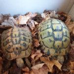 Griechische Landschildkröten Weibchen (30J) und Männchen(16J) abzugeben