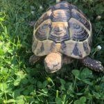 Landschildkröte Vermisst