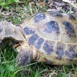 Russische, männliche Landschildkröte
