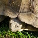 Spornschildkröten zu verkaufen