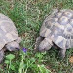 2 Griechische Landschildkröten Testudo hermanni zu verkaufen