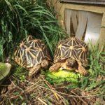 2 große adulte, weibliche, eierlegende Indische Sternschildkröten (Geochelone elegans) TYP: SRI LANKA