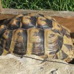 Griechische Landschildkröte vermisst in 66386 St. Ingbert