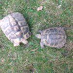 4 Griechische Landschildkröten zu verkaufen - 3 Mädchen 1 Mann