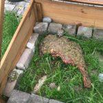 Griechische Landschildkröte vermisst in Köln-Königsforst Baldurstr