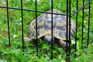 Grischische Landschildkröte gefunden