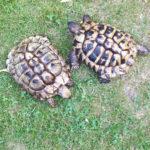 Griechische Landschildkröten NZ 2012 zu verkaufen