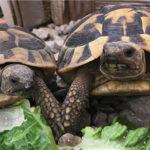 Griechische Landschildkröten NZ 2012 und 2013
