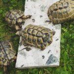 Tunesische Landschildkröte vermisst