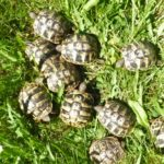 Griechische Landschildkröten, Nachzuchten 2018