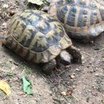 griechische Landschildkröte am 01.07.2019 in 54340 Bekond gefunden