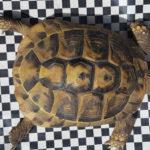 Verkaufe 2 Griechische Landschildkröten - Testudo hermanni
