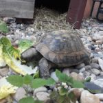 Landschildkröte in Heidelberg gefunden