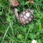Süsse Sporenschildkröten