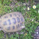 Vierzehen Landschildkröten abzugeben