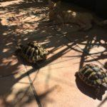 Zwei Griechische Landschildkröten Weibchen zu verkaufen