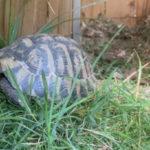 Griech. Landschildkröte in 14550 Bochow gefunden
