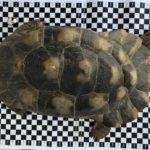Breitrandschildkröte, marginata, Gruppe paarweise, adult