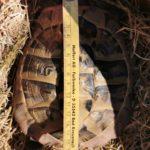 Griechische Landschildkröte männlich zu verkaufen