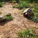 Griechische Landschildkröten NZ 2018 / NZ 2010