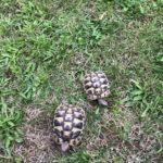 Griechische Landschildkröten NZ 2018 und NZ 2017