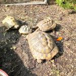 Griechische Landschildkröten zu verkaufen