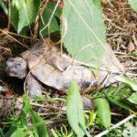 Landschildkröte in fremden Grundstück in Dresden gesichtet