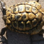 Griechische Landschildkröte vermisst