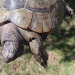 Schwellungen meist Nierenprobleme bei Schildkröten