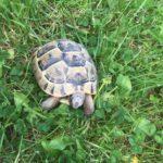 Griechische Landschildkröte gefunden in Rommerskirchen