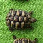 Verkaufe 3 Griechische Landschildkröten