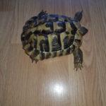 Verkaufe Griechische Landschildkröte NZ 2012