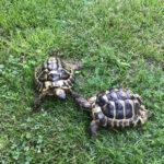 Zwei Griechische Landschildkröten NZ 2010 zu verkaufen