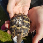 Zwei Griechische Landschildkröten, geboren 2018, zu verkaufen mit Papiere