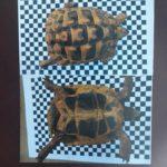 In Aachen-Hahn entlaufen: Landschildkrötenmann Konrad