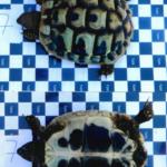 Vermisst Griechische Landschildkröte in Herzogenaurach